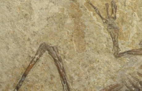 Grenouille fossile des calcaires en plaquettes de l'Oligocène du Luberon