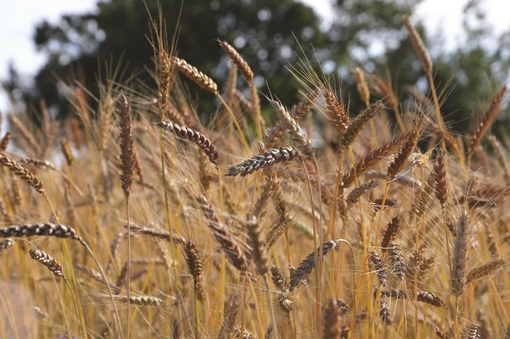 Épis de blé Meunier d'Apt (photo Magali Amir)