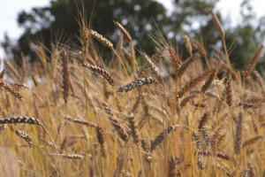 Épis de blé Meunier d'Apt (Magali Amir)