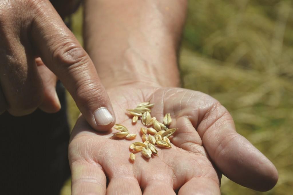 Gérard Guillot présentant dans sa main quelques grains de Florence Aurore (photo Hervé Vincent)