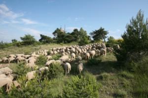 Troupeau de moutons devant le moulin de Montfuron
