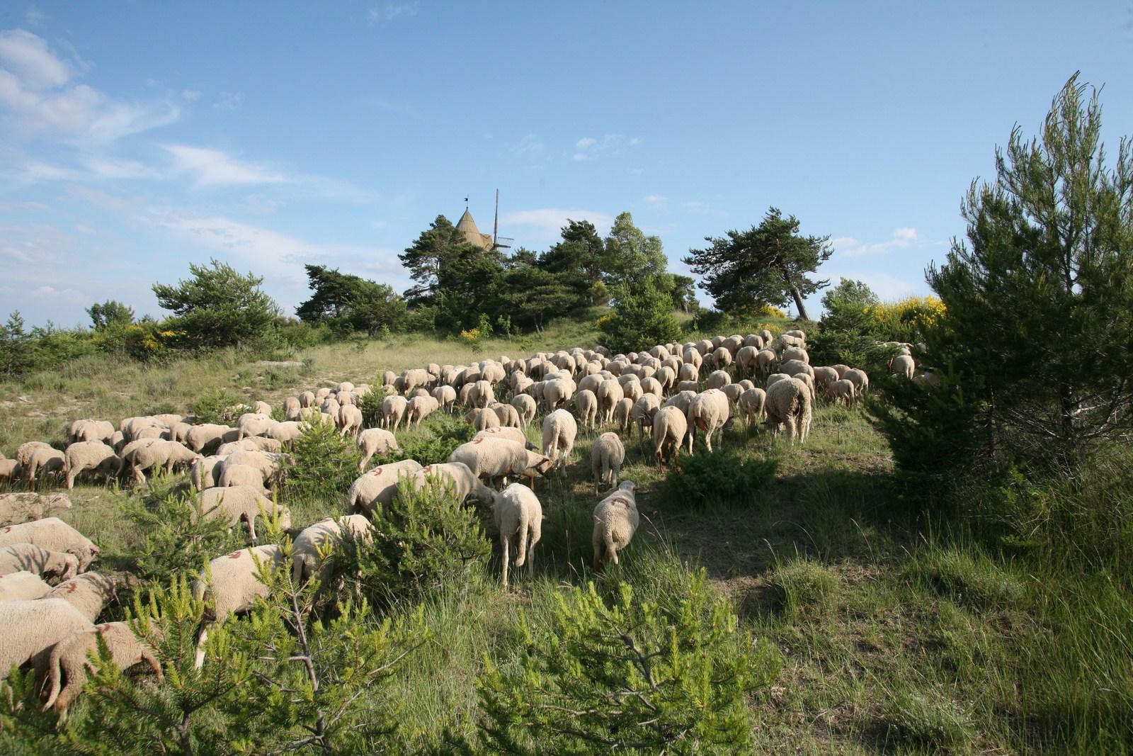 Troupeau de moutons à Montfuron (Hervé Vincent)