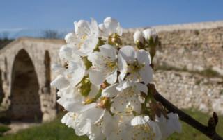 Depuis le pays d'Apt, cerisier en fleur devant le Pont Julien à Bonnieux (Vaucluse).