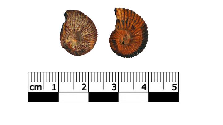 Ammonites conservées dans les collections (photo PNRL)