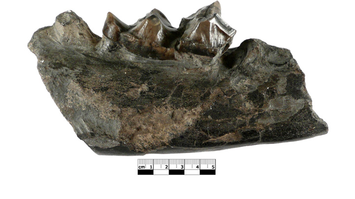 Mandibule de Palaeotherium (photo PNRL)