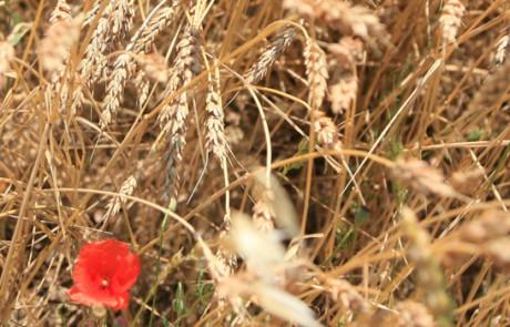 Coquelicots dans les épis de blé (photo Hervé Vincent)