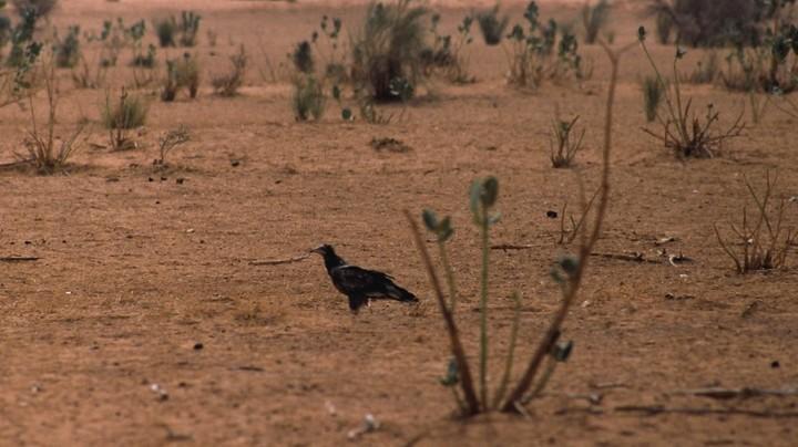 Vautour percnoptère en Afrique © PNRL - Max Gallardo
