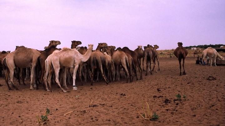 Dromadaires dans le Sahara © PNRL - Max Gallardo