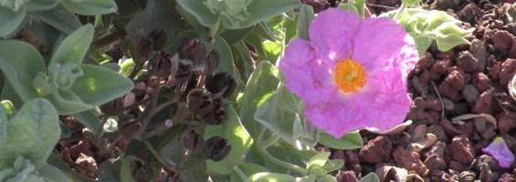 Ciste crépu dans un jardin © PNRL