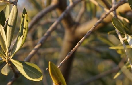 Feuilles d'olivier © PNRL - Stéphane Legal
