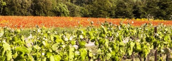 Vignes et coquelicots depuis les environs de Lioux (route de Murs) © David Tatin
