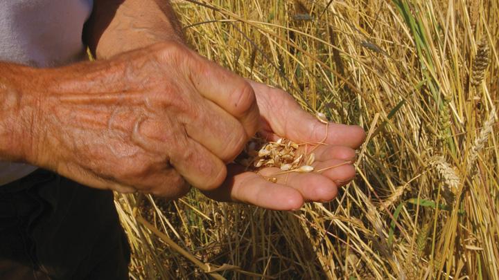 Céréales anciennes © PNRL