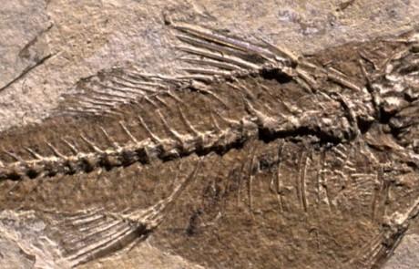 Poisson et feuille de l'Oligocène (photo PNRL - Patrick Cabrol)