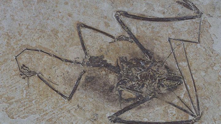 Chauve-souris fossile Photo Stéphane Legal