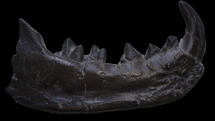 Mandibule de créodonte Photo Stéphane Legal