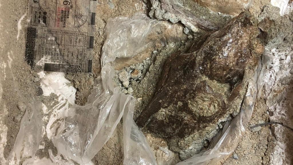 Dégagement d'un crâne fossile de mammifère de Murs